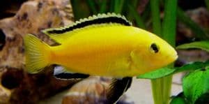 Assorted Malawi Cichlids - Small (Pack of 4)