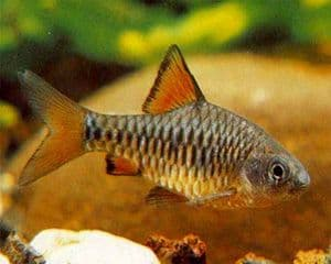 Checkered Barbs (Pack of 4)