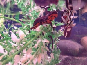 Chinese Fire Bellied Newts