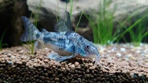 Peppered  Cory (Pack of 2)