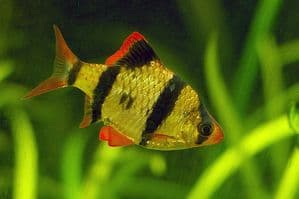 Tiger Barb (Pack of 3)
