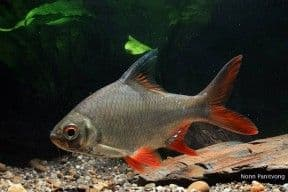 Tinfoil Barb (Pack of 3)