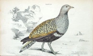 BANDED SAND GROUSE, PTEROCLES ARENARIUS, Male Jardine antique bird print 1834