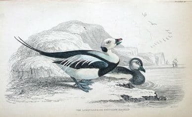 LONG TAILED  DUCK OR NORTHERN HARELD Jardine hand col. antique bird print c1838