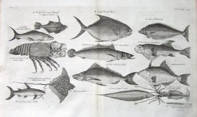 MULLET, CRAYFISH, STING RAY, CUTTLEFISH, SOLE etc Kip antique fish print 1732
