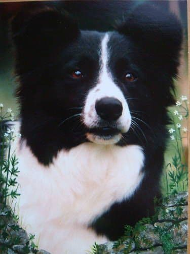 Border Collie Blank Greetings Cards (10 Pack)