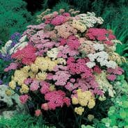 Achillea millefolium Summer Pastels F2 - Appx 100 seeds
