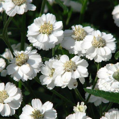 Achillea Ptarmica Pearl - Appx 250 seeds