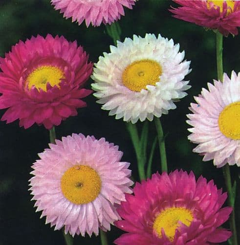Acroclinium grandiflorum Mixed Appx 450 seeds
