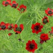 Adonis aestivalis - red flowered - appx 200 seeds - 2 grams - Pheasants eye