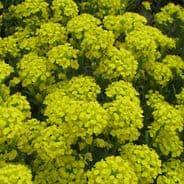 Alyssum Montanum Mountain Gold - Appx 350 seeds