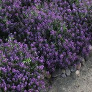Alyssum Oriental Nights Appx 2,500 seeds