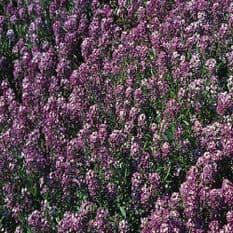 Alyssum Royal carpet - 500 seeds / 4000 seeds