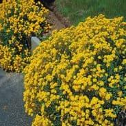 Alyssum saxatile Gold / Yellow Appx 1000 seeds