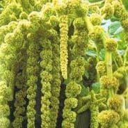 Amaranthus caudatus Green - appx 350 seeds