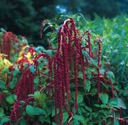 Amaranthus caudatus Red - Love lies Bleeding - 1500 seeds / 4,500 seeds