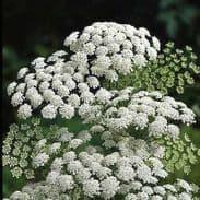 Ammi Majus - Bishops flower - appx 7800 seeds