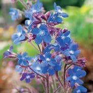 Anchusa italica Dropmore - 10 seeds