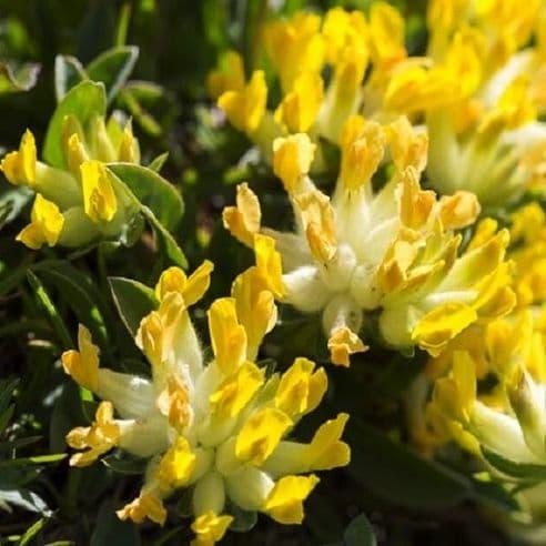 Anthyllis vulneraria - Kidney Vetch - appx 350 seeds