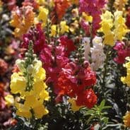 Antirrhinum Cheerio Mixed
