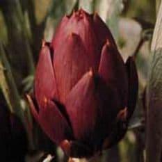 Artichoke Romanesco 35 seeds - Vegetable