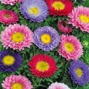 Aster Baronesse Mix - Appx 250 seeds