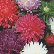 Aster Carousel Mixed - 300 seeds Annual