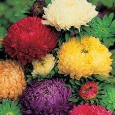 Aster Duchess formula mix - Paeony flowered - 1 - 50g