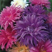 Aster Ostrich Plume Mixed - 300 seeds