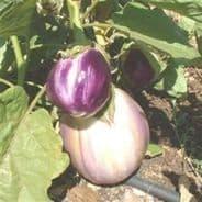 Aubergine Rosa Bianca Seeds