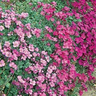Aubrieta hybrida Cascade mix - 500 seeds