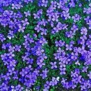 Aubrieta Royal Blue Appx 250 seeds