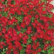 Aubrieta Royal Red - 1 gram - Bulk Discounts available