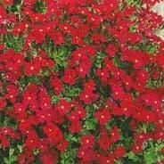 Aubrieta Royal Red -  Appx 250 seeds