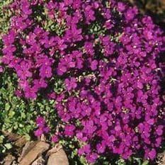 Aubrieta Royal Violet Appx 250 seeds