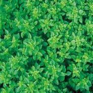 Basil Greek 1200 seeds / 2400 seeds
