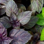 Basil Red Rubin - Ocimum basilicum 300 seeds / 900 seeds