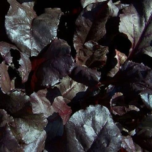 Beet leaf Blood Red