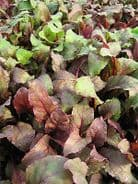 Beet leaf Bulls Blood - 100 seeds - Vegetable