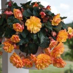 Begonia F1 Illumination Golden Picotee - Hanging Basket type - 20 seeds