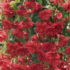 Begonia F1 Illumination Rose - Hanging Basket type - 20 seeds