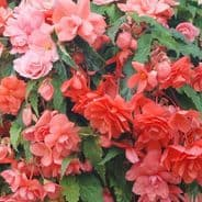 Begonia F1 Illumination Salmon Pink - Hanging Basket type - 20 seeds