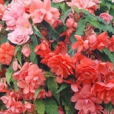 Begonia F1 Illumination Salmon Pink - Hanging Basket type - 20 seeds