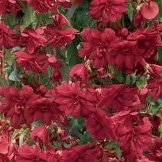 Begonia F1 Illumination Scarlet - Hanging Basket type - 20 seeds