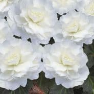 Begonia F1 Nonstop Mocca White 10 seeds (pelleted)