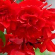 Begonia F1 Nonstop Red 10 seeds (pelleted)