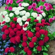 Bellis Medicis Mix 50 seeds