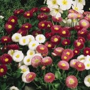 Bellis Perennis enorma mix 1000 seeds