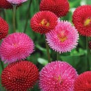Bellis Pomponette Mix - 1000 seeds