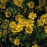 Bidens aurea Sunshine Appx 100 seeds Bur Marigold